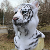 white tiger gallery image 1.jpg