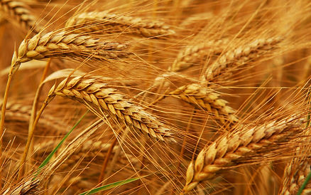 wheat-sow-offering