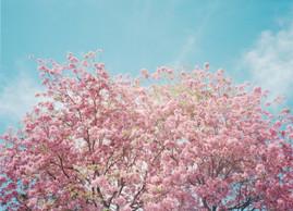 160020_016_pinkblossom.jpg