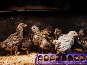 Chicken Update!!!
