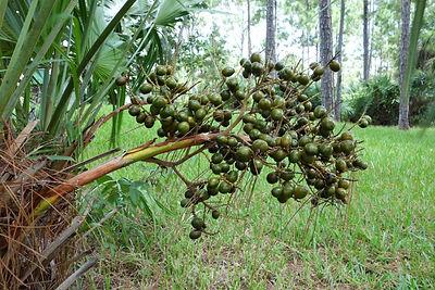 saw-palmetto-berries1.jpg
