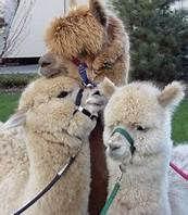 alpaca 3.jpg