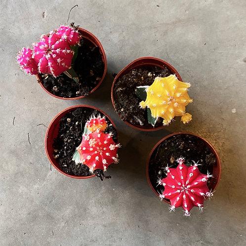 Cactus greffés