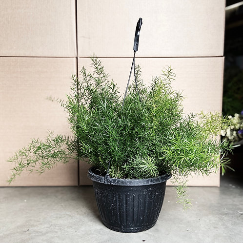Asparagus densiflorus « Sprengeri »