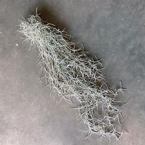 Tillandsia usnoide