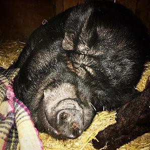 Romeo the pig