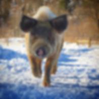 Bubbles the pig