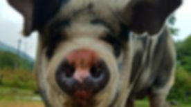 Wattles the pig