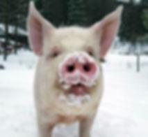 Thaddeus the pig