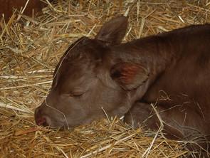 Evening feeding to promote daytime calving