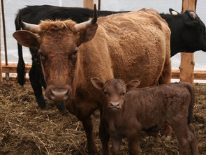 Surprising Natural Cures for the Top 10 Cattle Ailments