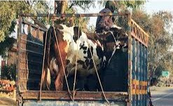Just Say No: 5 Bad Cattle Handling Habits