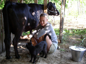 Training a Family Cow The Gentler Way