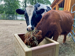 Herd community: There's more to cows than we thought, say scientists