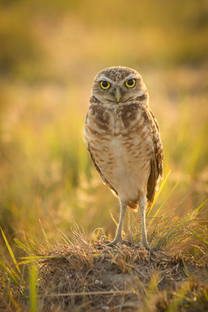 Burrowing Owl on the lookout