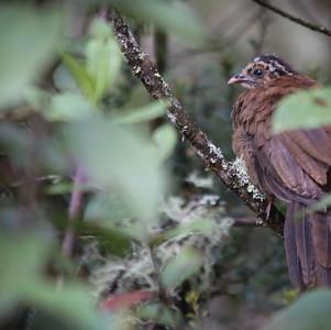 Andean Guan (juvenile)