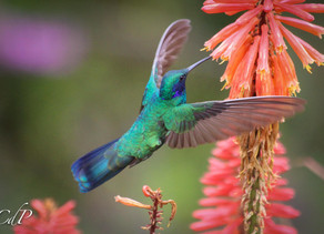 Birdwatching in Bogotá: the Monserrate experience