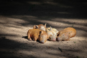 Piglets basking in the sun