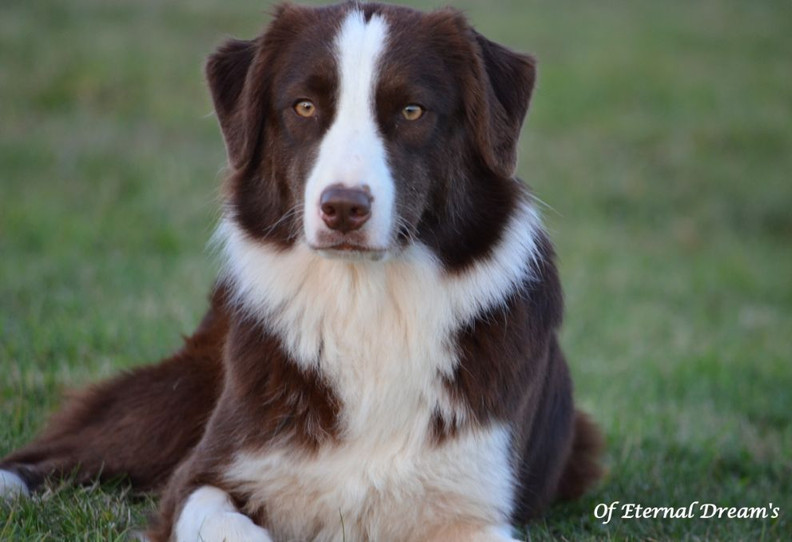 chiens-Berger-Australien-b5ee6c54-607b-7
