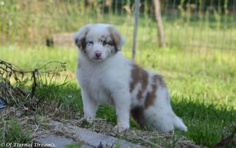 Femelle Rouge Merle bico-10.jpg