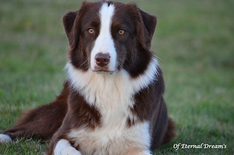 chiens-Berger-Australien-19ce5f66-668a-1