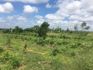 Agro-forestry experiments