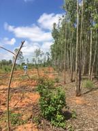 Eucalyptus conversion experiments