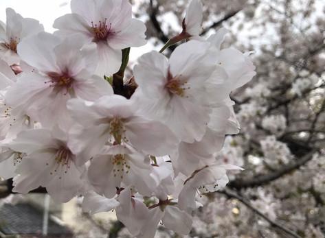 桜がええ感じです