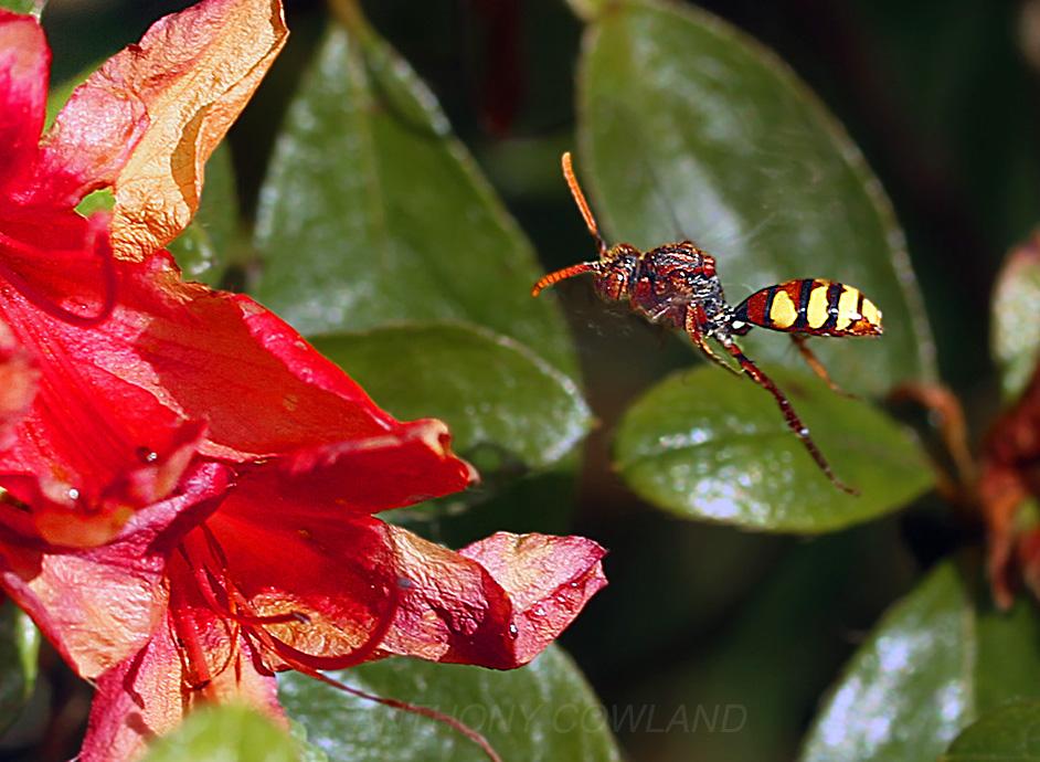 Field Digger Wasp