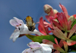 Hoverfly. From below