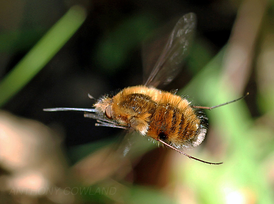 Bee Fly in April