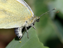 Small White butterfly. The first egg