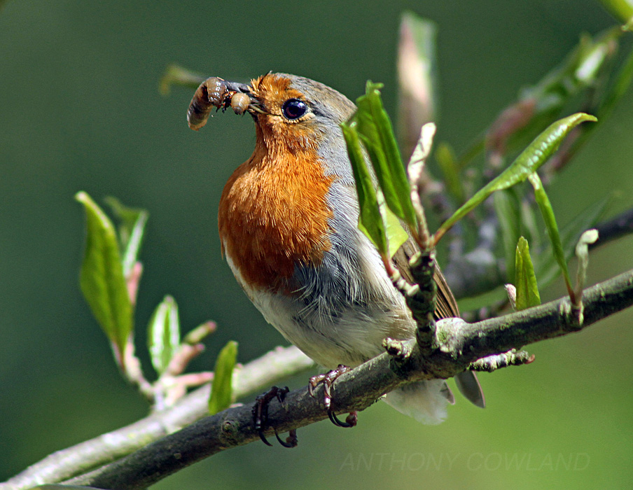 Robin with food