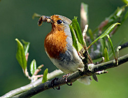 Robin with food