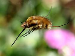 Bee Fly. Bombylius Major