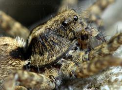 Garden spider01