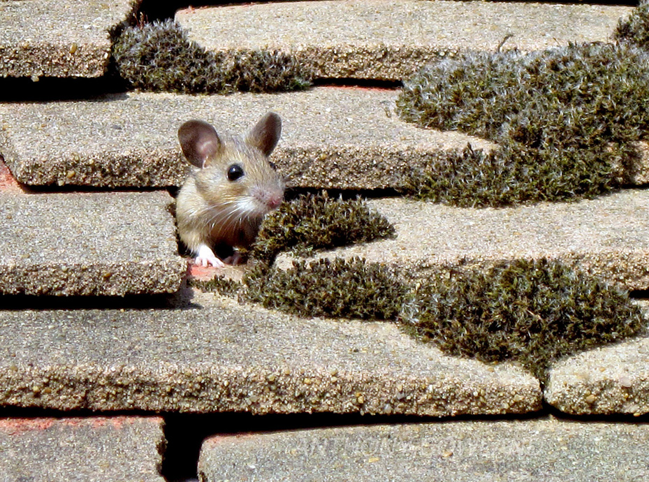 Field Mouse.. in our roof