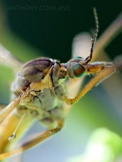 Cranefly. Tipula Paludosa