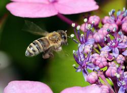 Honey Bee02