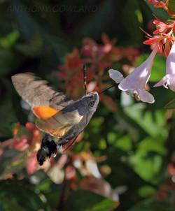 Hummingbird Hawk Moth02