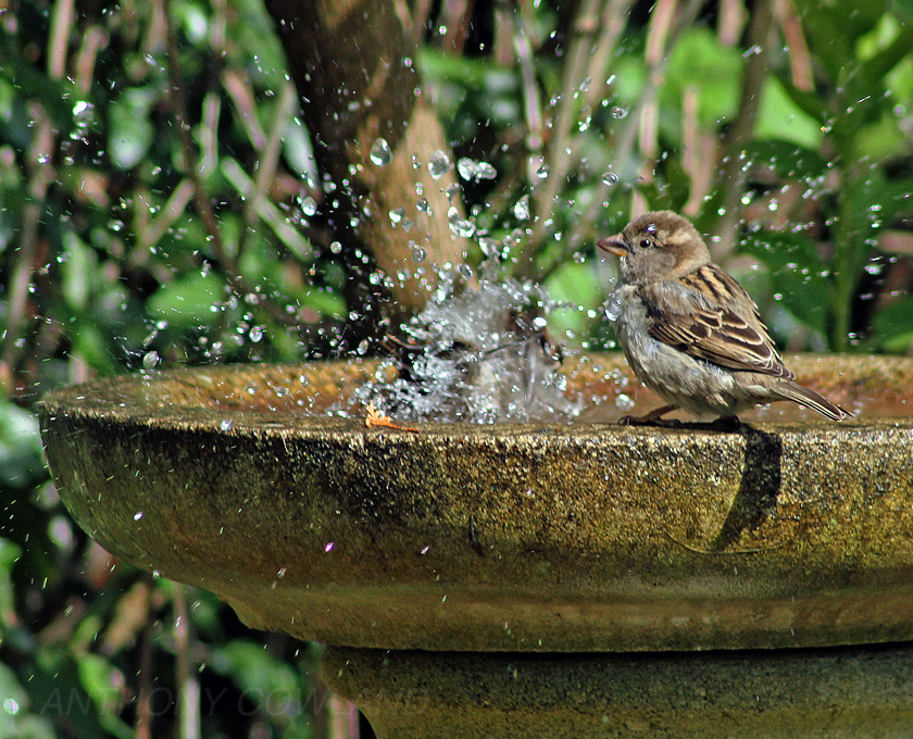 Sparrows in the Birdbath