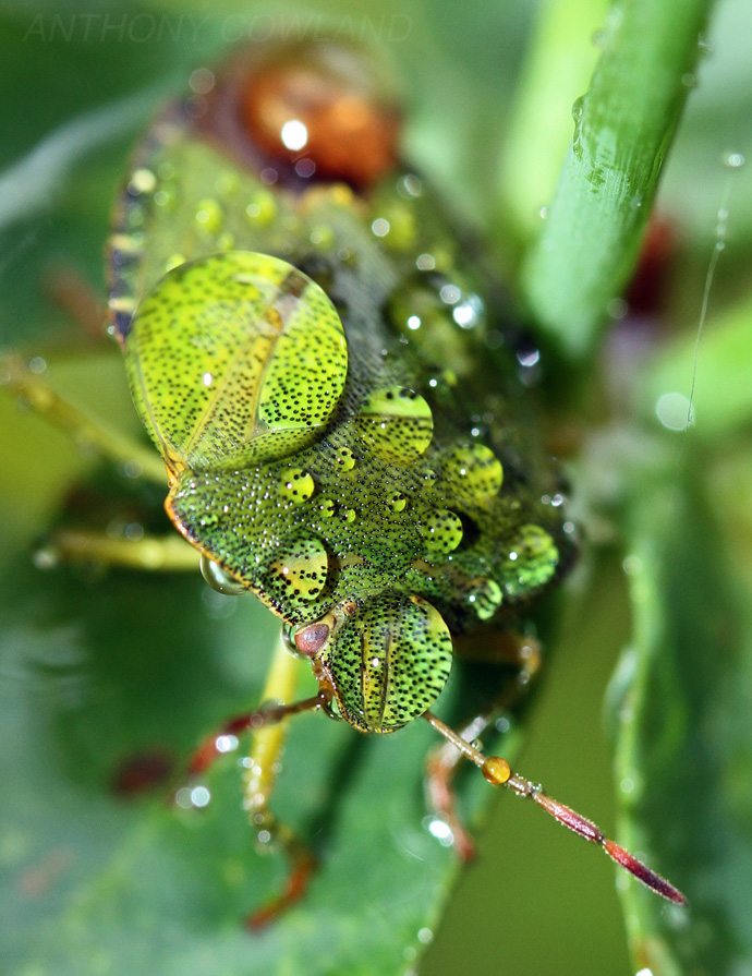 Green Shield Bug. Caught in the rain