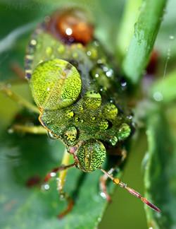 Green Shield Bug. Caught in the rain