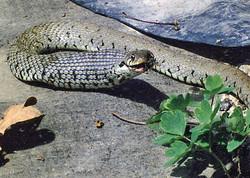 Grass Snake eating a Frog
