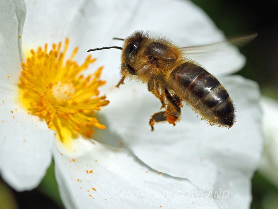 Honey Bee03