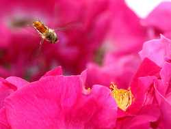 Hoverfly and Briar Rose