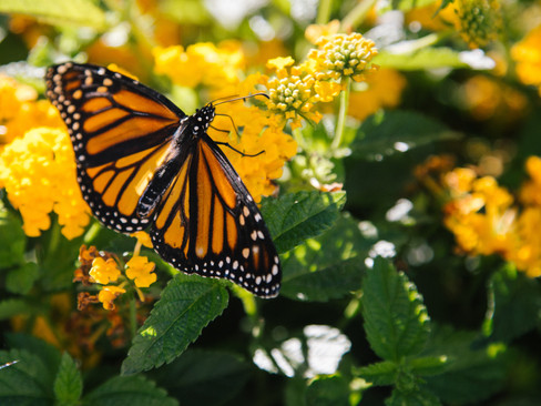 Monarch Migration So Large It Can Be Seen On Radar