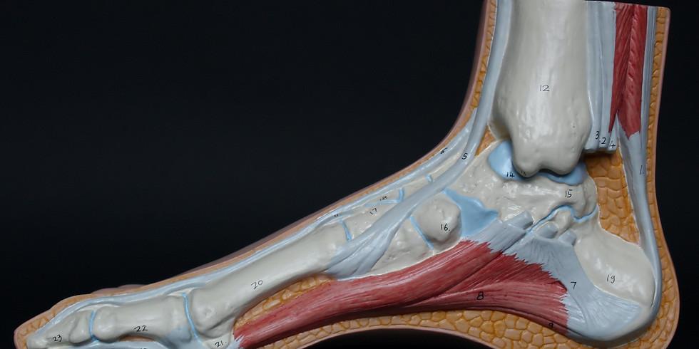 Продвинутый курс по анатомии, физиологии и пат. анатомии стопы