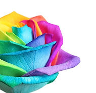 Amazing rainbow rose flower on white bac