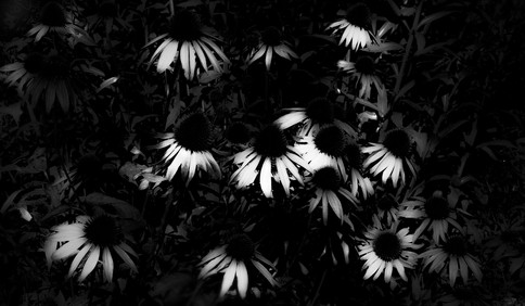 Not so sunny sun flowers